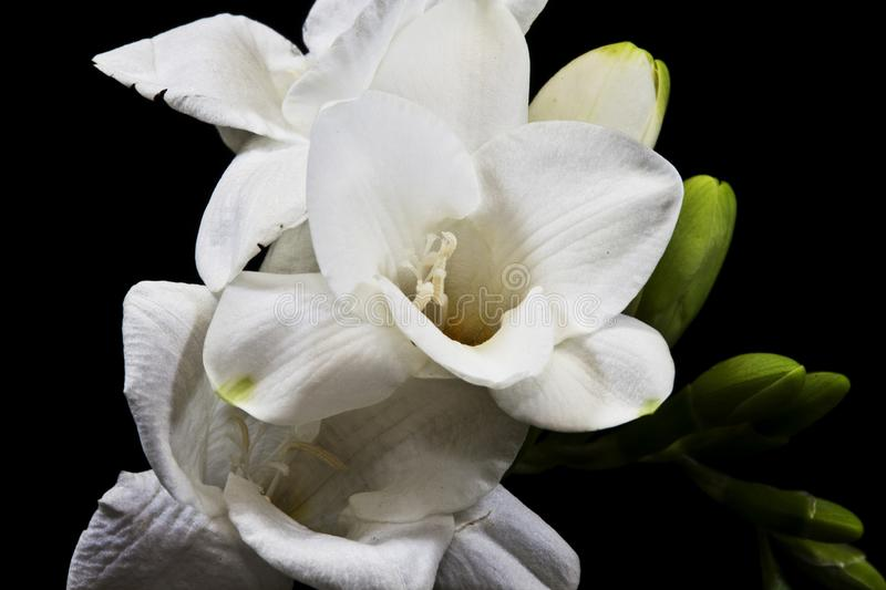 Flower of Frezia on a black background. Macro photography. Freesia lat. Freesia Refract is a herbaceous plant, originating in South Africa. The tree above is 30 stock images