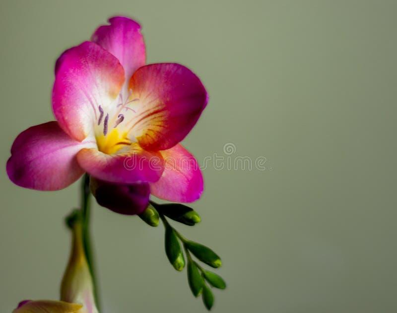 Freesia med purpurfärgade kronblad royaltyfria foton