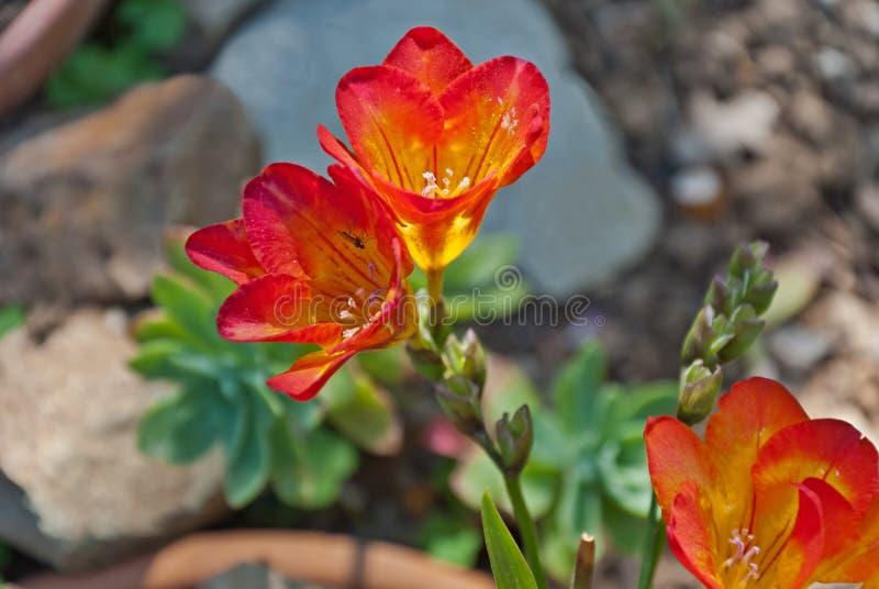 Freesia med röd-guling blommor som de blommar i vår royaltyfri fotografi
