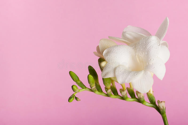 Freesia på den rosa bakgrunden royaltyfri fotografi