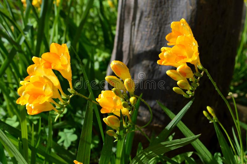Freesias jaunes fond, nature photographie stock libre de droits