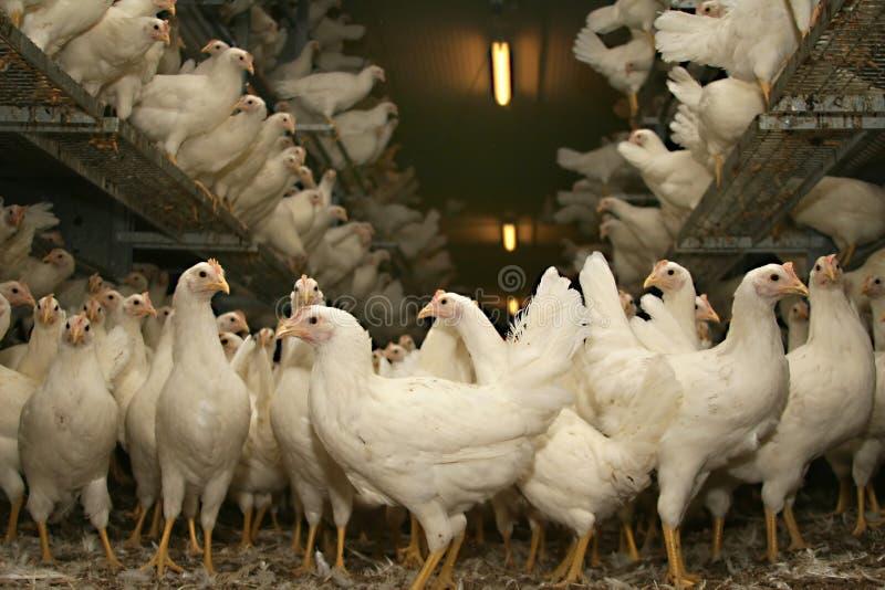 Freewheel galinhas poedeiras do marrom tarde no estábulo foto de stock royalty free