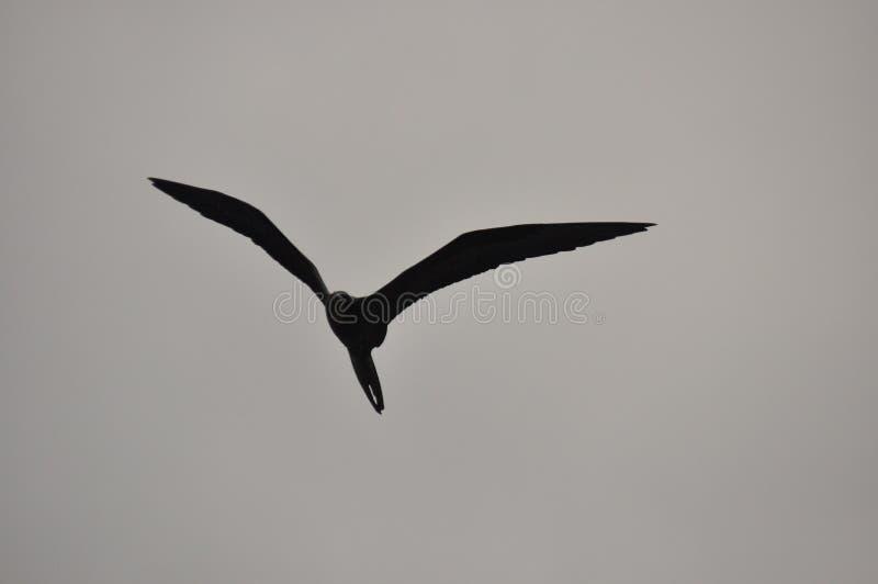 Fregat, een vogel met een lange staart die in de lucht tegen de hemel drijven royalty-vrije stock fotografie