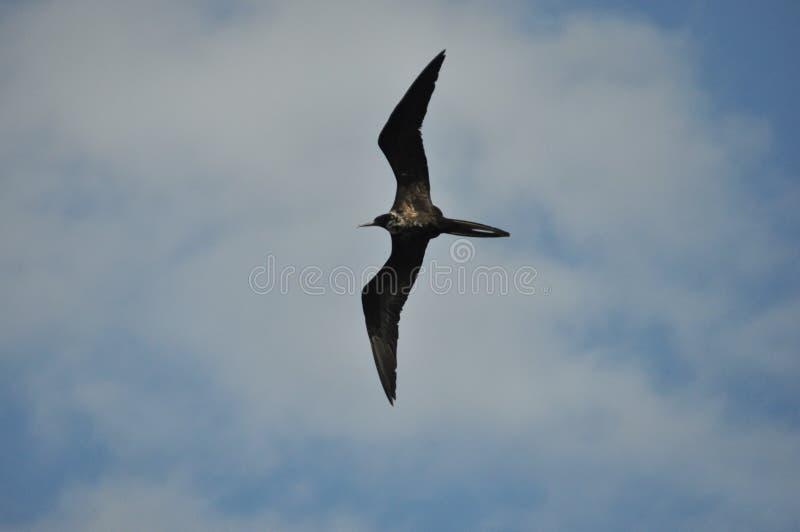 Fregat, een vogel met een lange staart die in de lucht tegen de hemel drijven stock afbeeldingen