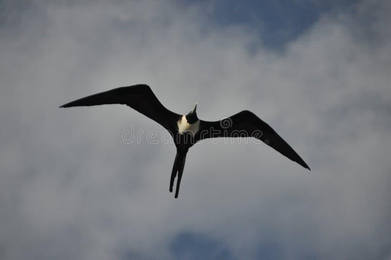 Fregat, een vogel met een lange staart die in de lucht tegen de hemel drijven royalty-vrije stock foto