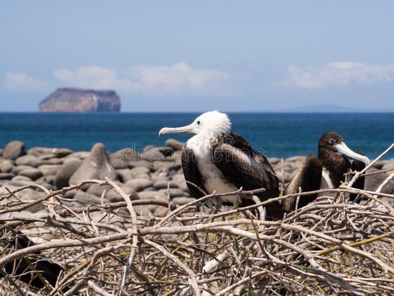 Fregattfåglar som bygga bo i de Galapagos öarna royaltyfri foto
