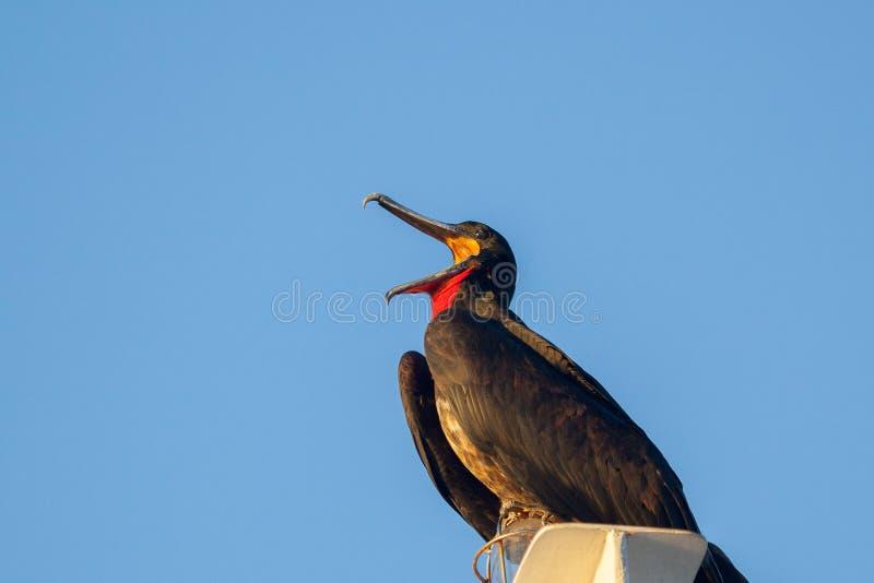 Fregatvogel het zingen op de Eilanden van de Galapagos stock foto's