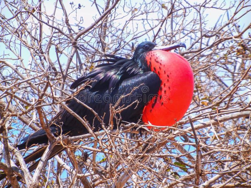 Fregatvogel met opgeblazen rode zak op het eiland van de Galapagos stock fotografie