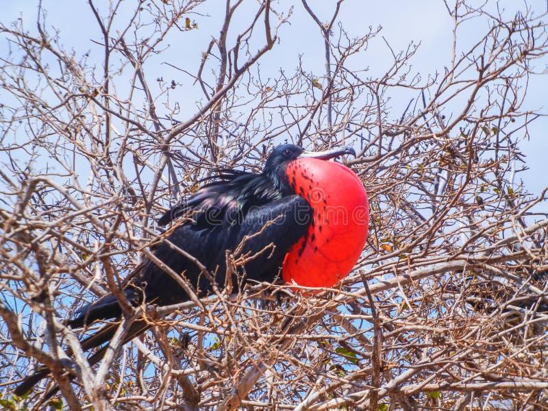 Fregatvogel met opgeblazen rode zak op het eiland van de Galapagos royalty-vrije stock fotografie