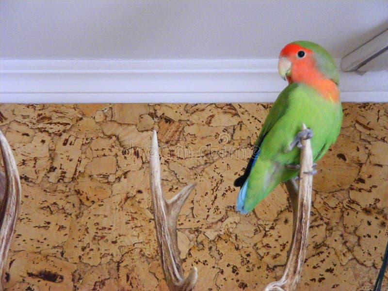 Freie Fliege Rosy Faced Lovebirds im Haus lizenzfreie stockfotos