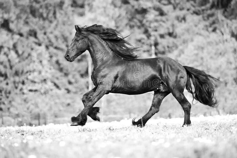 Freie friesische Pferdeläufe, Schwarzweiss lizenzfreies stockfoto