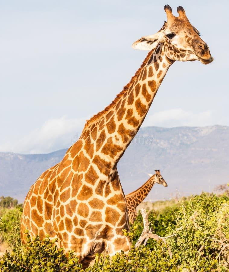 Freie Giraffe in Kenia stockbilder