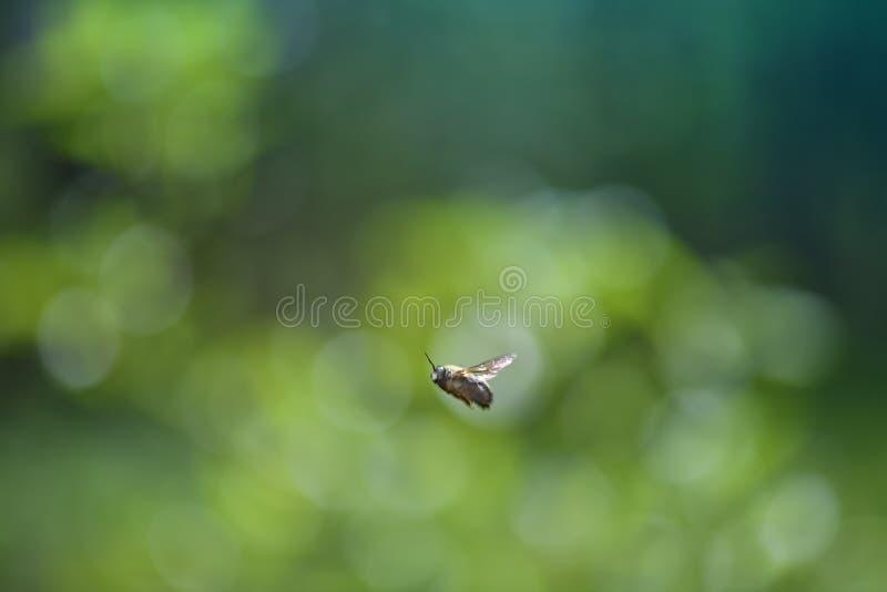 Freie Hummel der Biene im Flug stockfoto