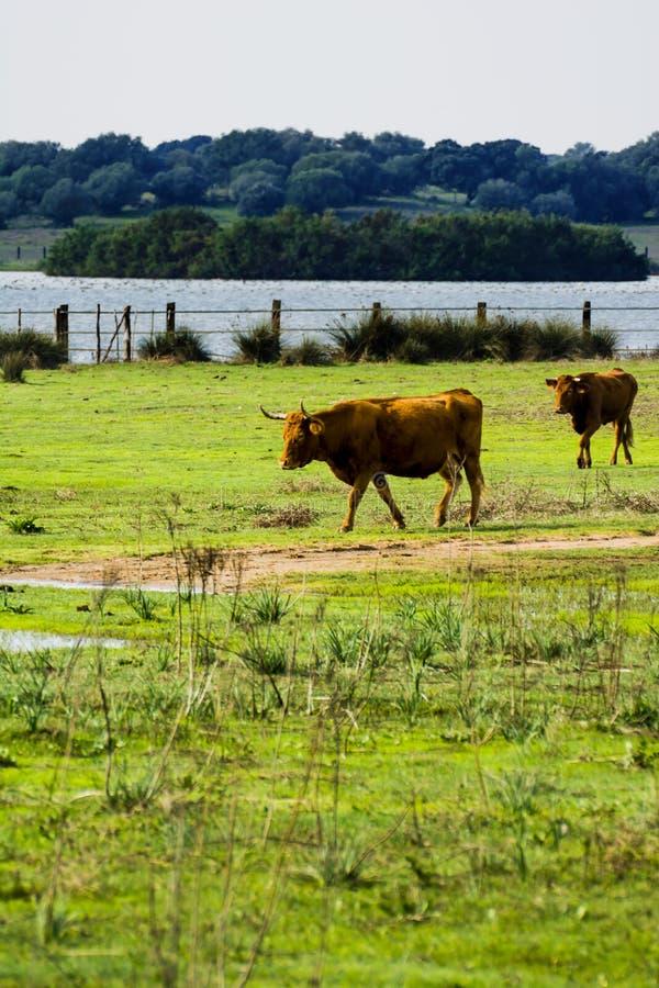 Freier und wilder alleiner Stier auf einem Gebiet stockfotos