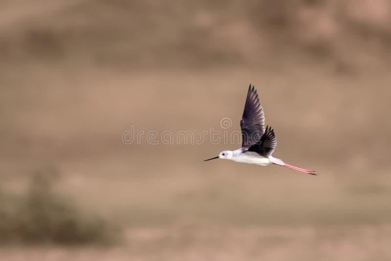 Freiflug der Schwarz-geflügelten Stelze lizenzfreie stockbilder