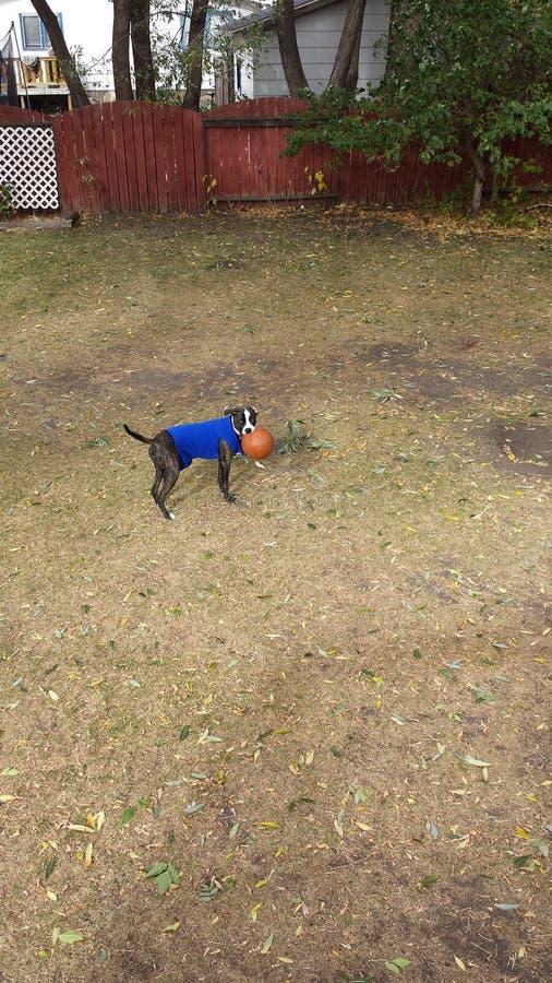 Freizeit für einen Bulldoggenwelpen lizenzfreie stockbilder