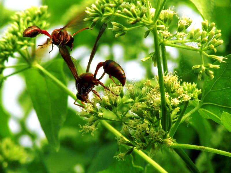 Frelon de chasseur de miel photographie stock