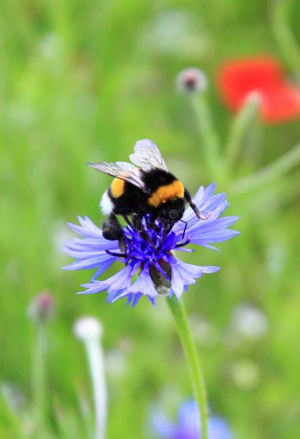Frelon suçant le miel photos libres de droits