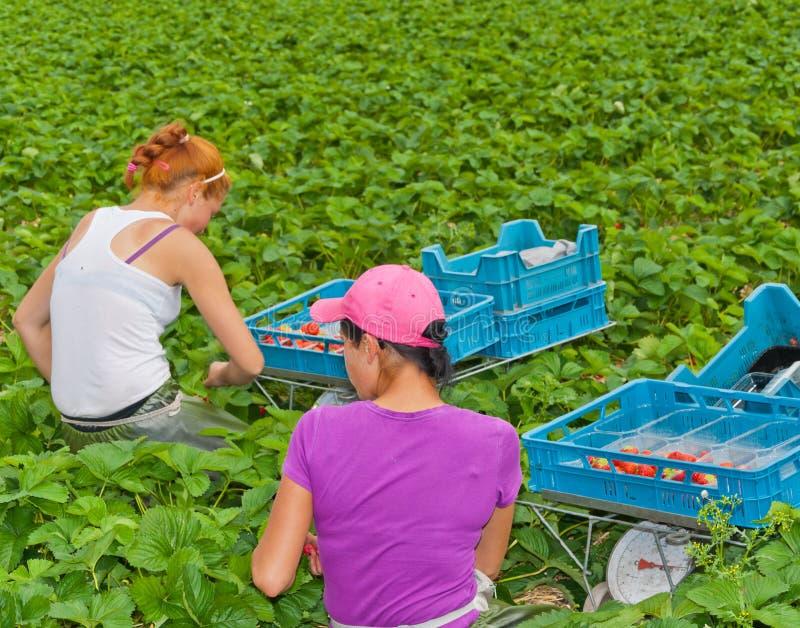 Fremde Saisonarbeiter, die Erdbeeren auswählen stockbilder