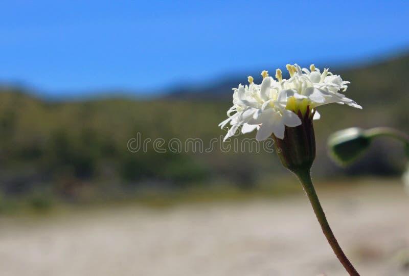 Fremonts Nadelkissen, Wüsten-Nationalpark Anza Borrego stockfoto