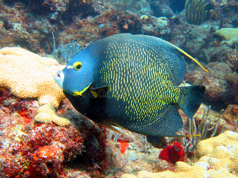 French Angel Fish stock images