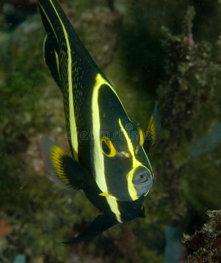 Download French Angelfish stock image. Image of portrait, fish - 14856573