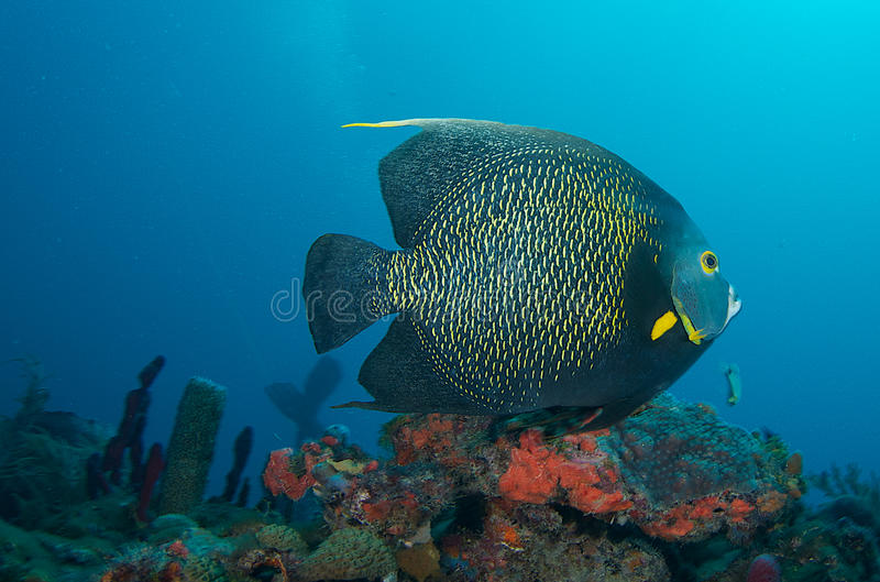 French Angelfish. A lone French Angelfish swims over a reef top, in Boca Raton Florida royalty free stock photo