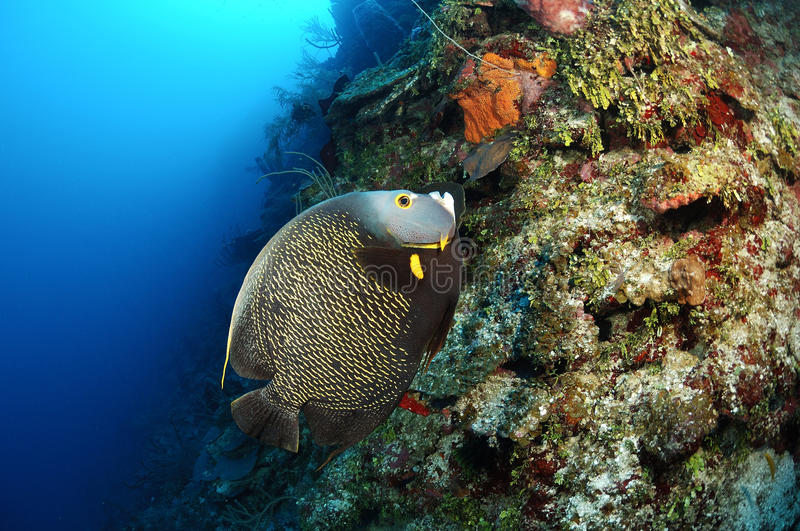 Download French angelfish stock photo. Image of pomacanthus, atlantic - 29224328