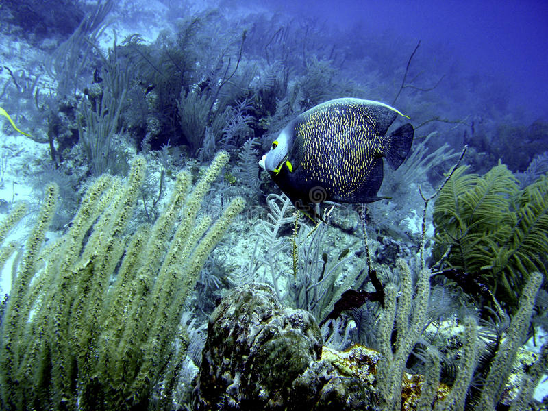 French Angelfish stock images