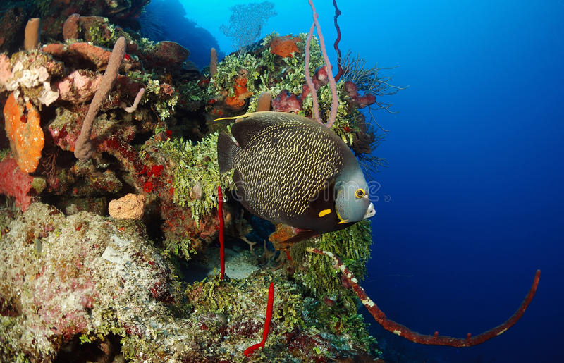French angelfish and corals royalty free stock photography