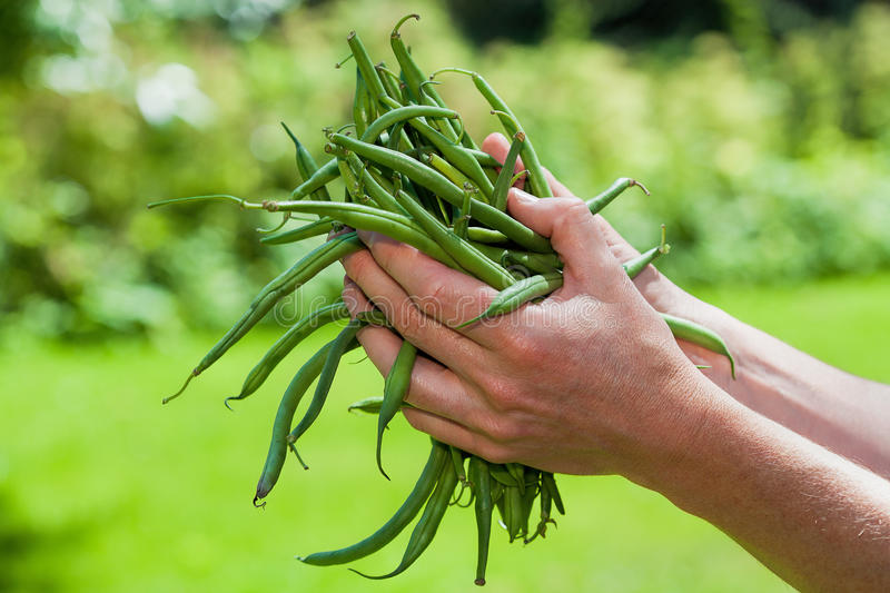 French bean. A hand holding fresh green French bean stock photo