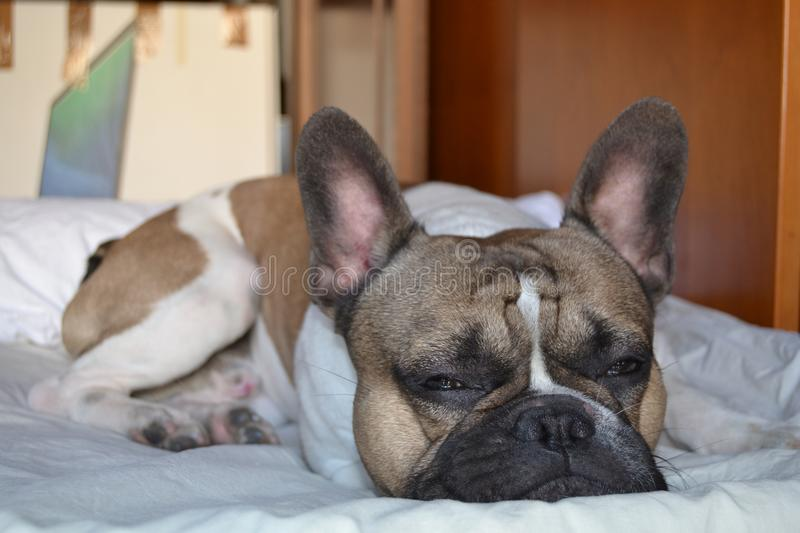 French bouledogue close-up royalty free stock photography