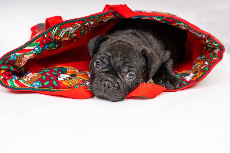 French Buldog Puppy. French Bulldog puppy, 5 weeks old hiding in a Christmas bag stock images