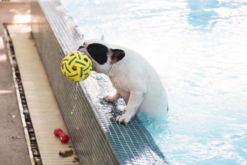French Bull dog in pool. French Bull dog clamp up from pool stock image