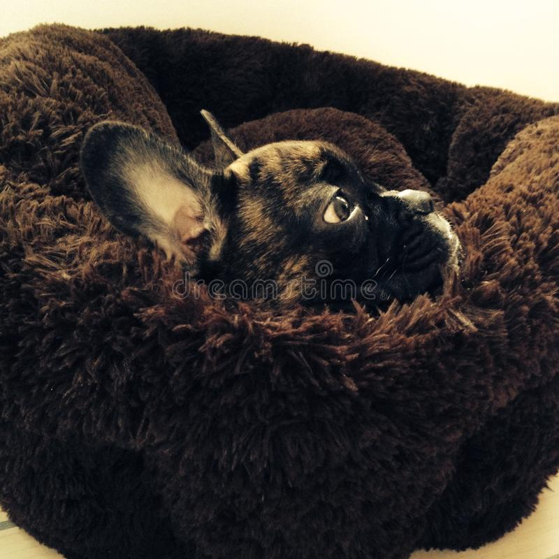 French bull puppy royalty free stock image