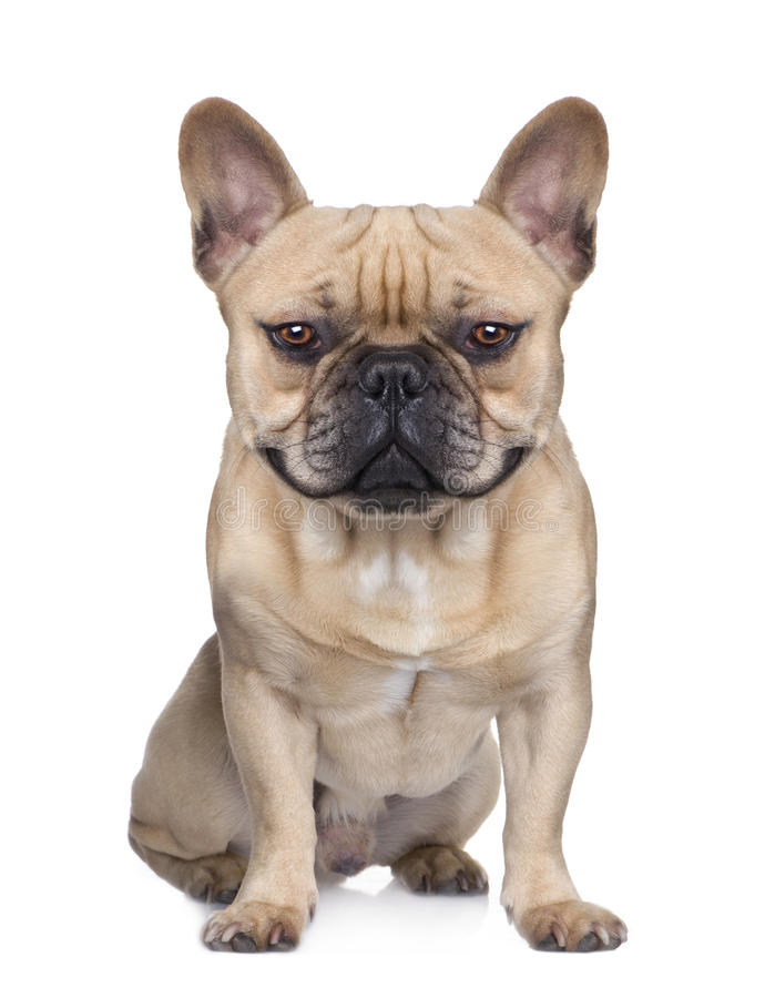 Free French Bulldog (1 Year) (Digital Enhancement) Stock Photo - 10049850