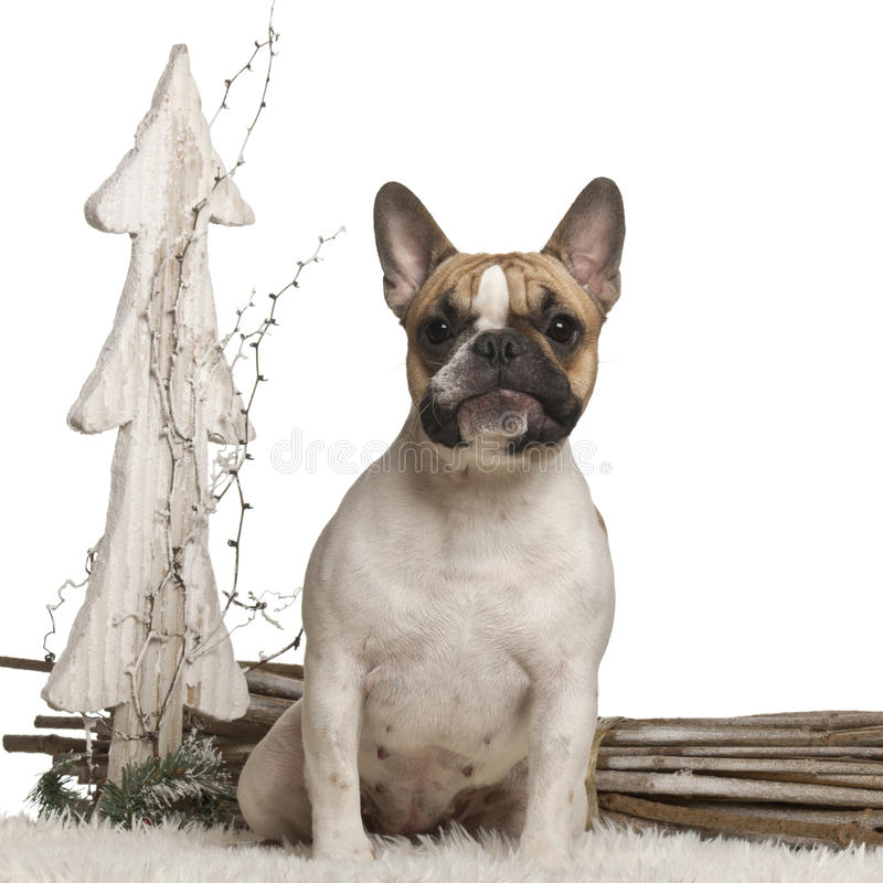 French Bulldog, 10 months old, in front of white