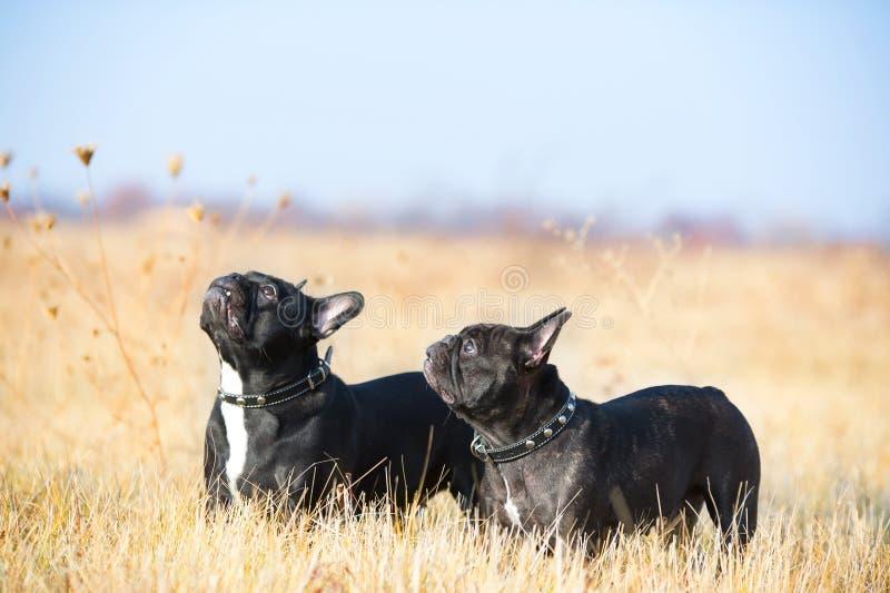 Download French Bulldog stock photo. Image of adorable, bulldog - 22067596