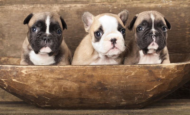 Download French Bulldog Royalty Free Stock Images - Image: 22226439