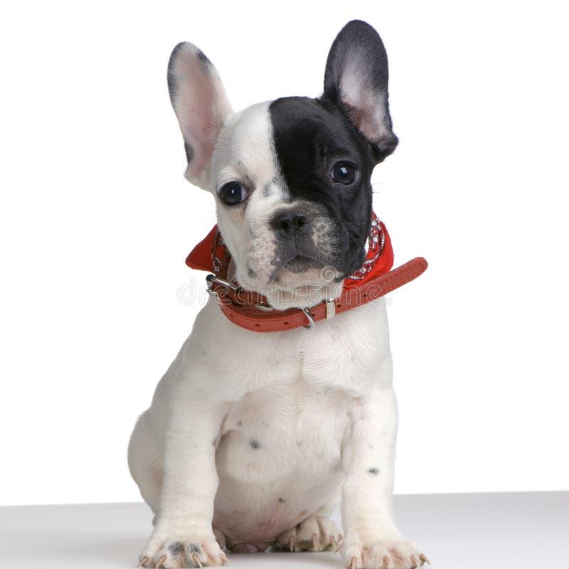 Download French Bulldog stock image. Image of mammal, grooming - 2314239
