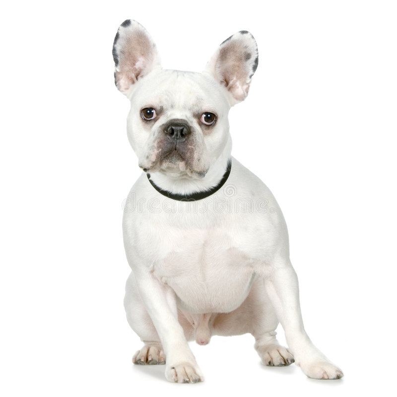 Download French Bulldog stock image. Image of collar, pets, french - 2314611