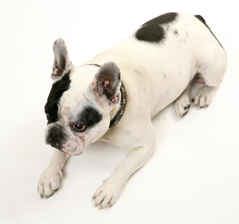 The French bulldog stock photo