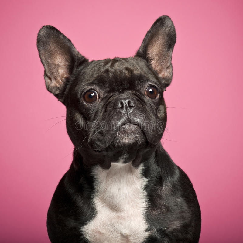 Download French Bulldog, 3 Years Old Stock Image - Image: 26645831