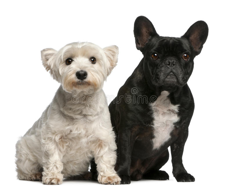 French Bulldog, 6 years old, and West Highland stock photos