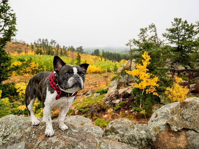 French Bulldog in Autumn landscape royalty free stock image