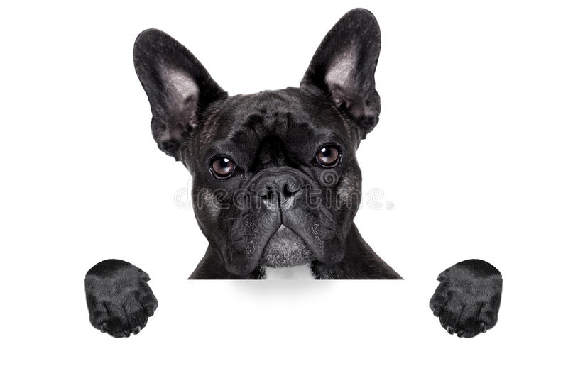 French bulldog with banner stock photos