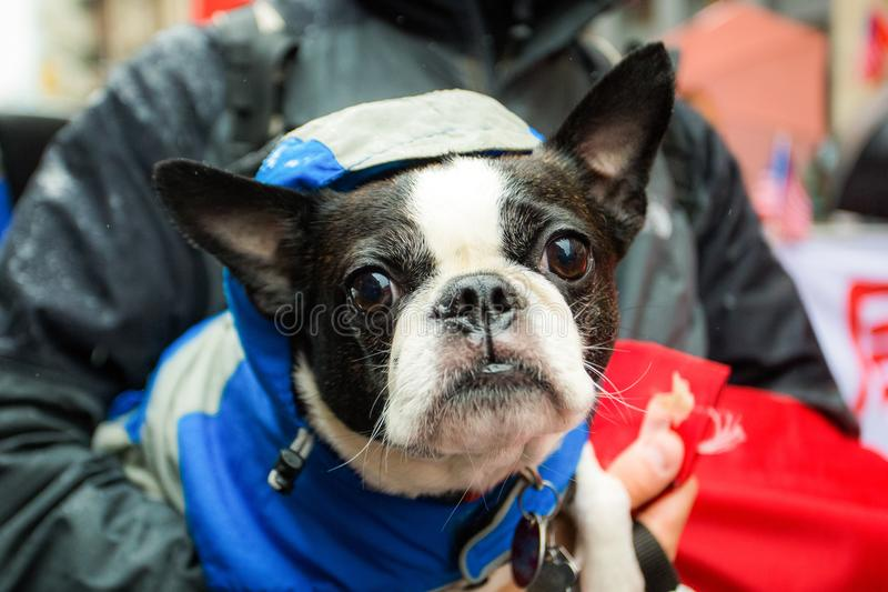 French bulldog being carried outside dressed royalty free stock photo