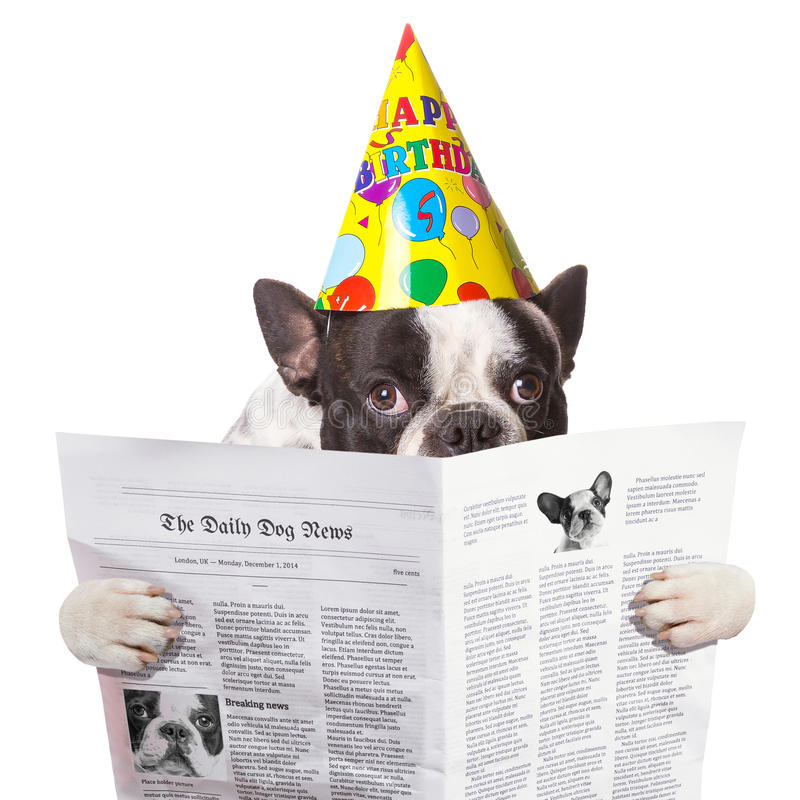 French bulldog in birthday hat reading newspaper. Over white royalty free stock photography