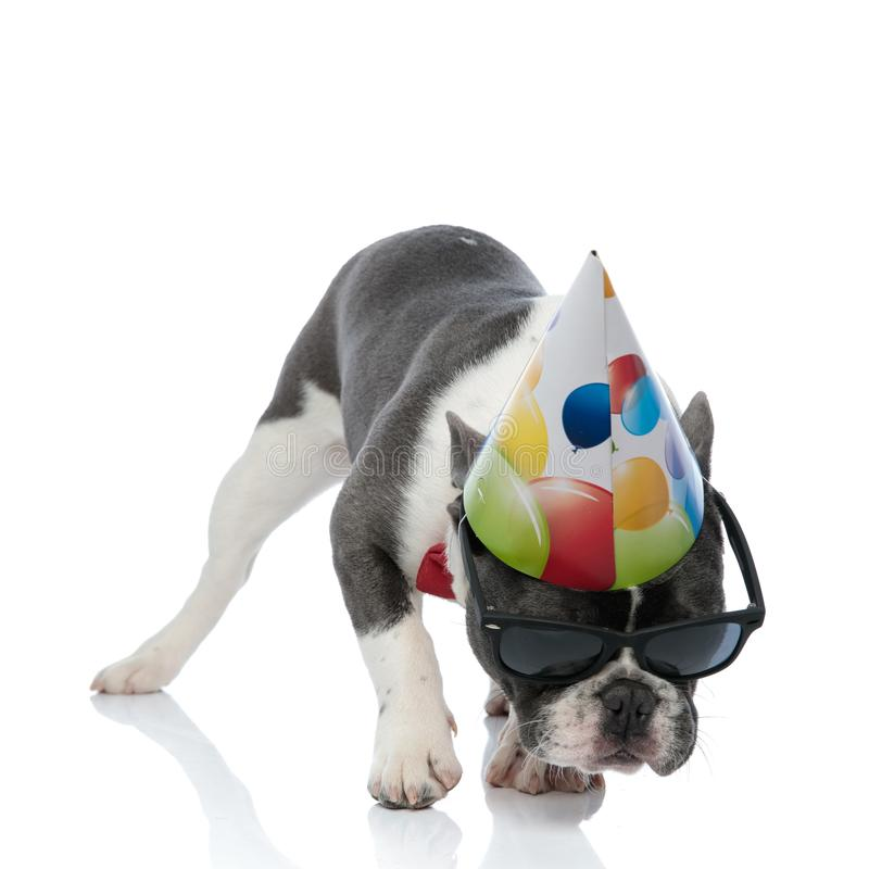 French bulldog with birthday party hat and black sunglasses. Walking and sniffing royalty free stock image