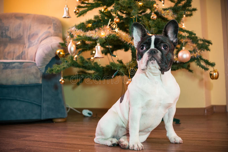 Download French Bulldog With Christmas Tree Stock Image - Image: 67411189